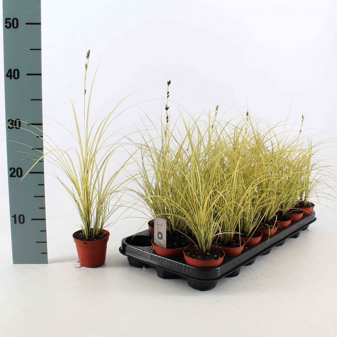 Carex brunnea 'Jennecke'® P8
