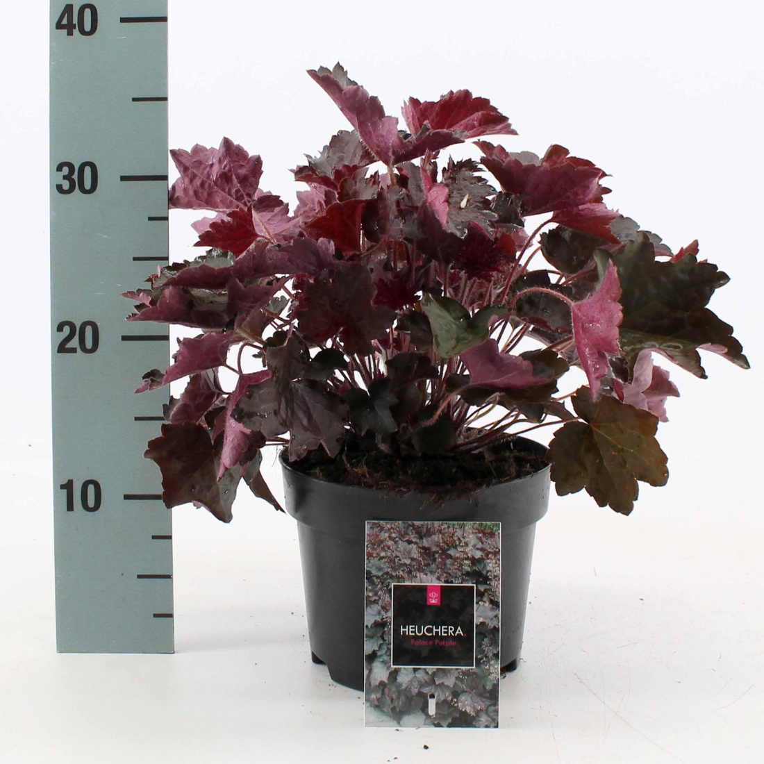 Heuchera micrantha 'Palace Purple' C2