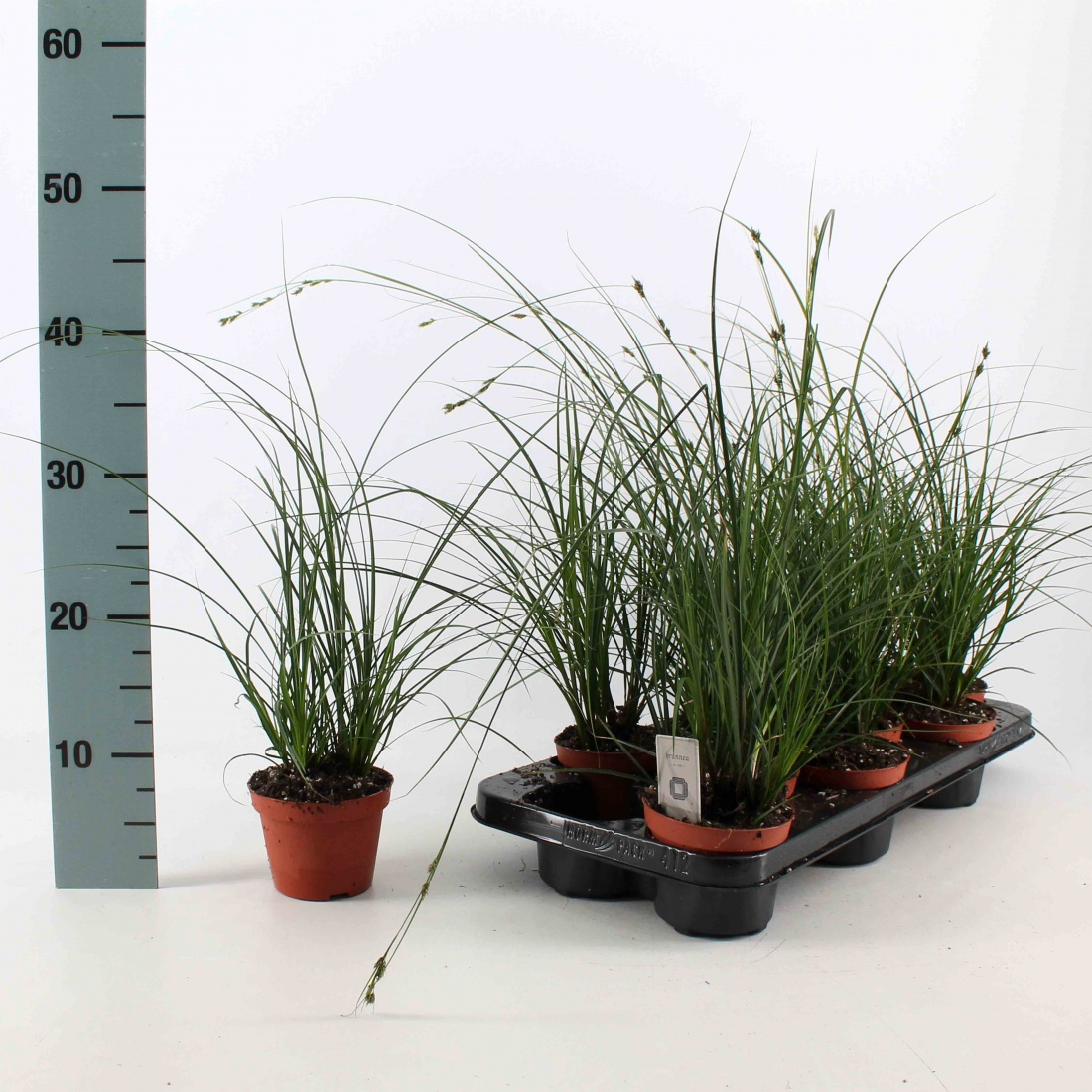 Carex brunnea (Grün) P10,5