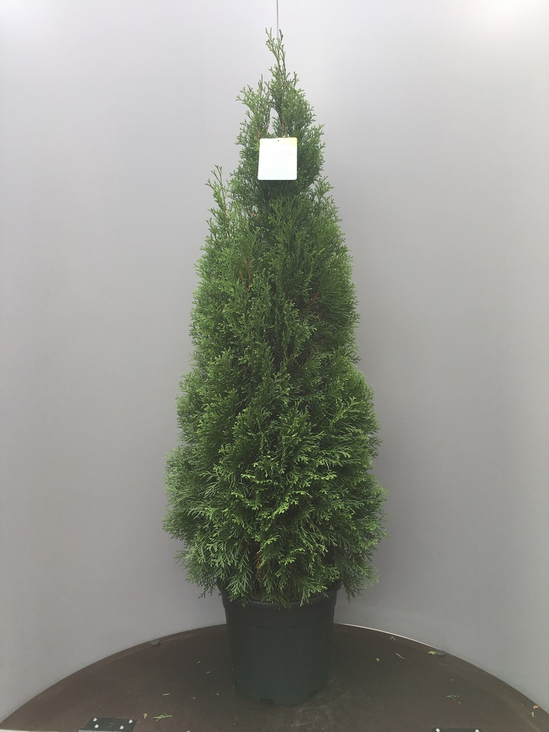 Thuja occidentalis 'Smaragd' C15 110/130