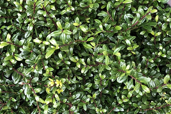 Alternativen zu Buxus