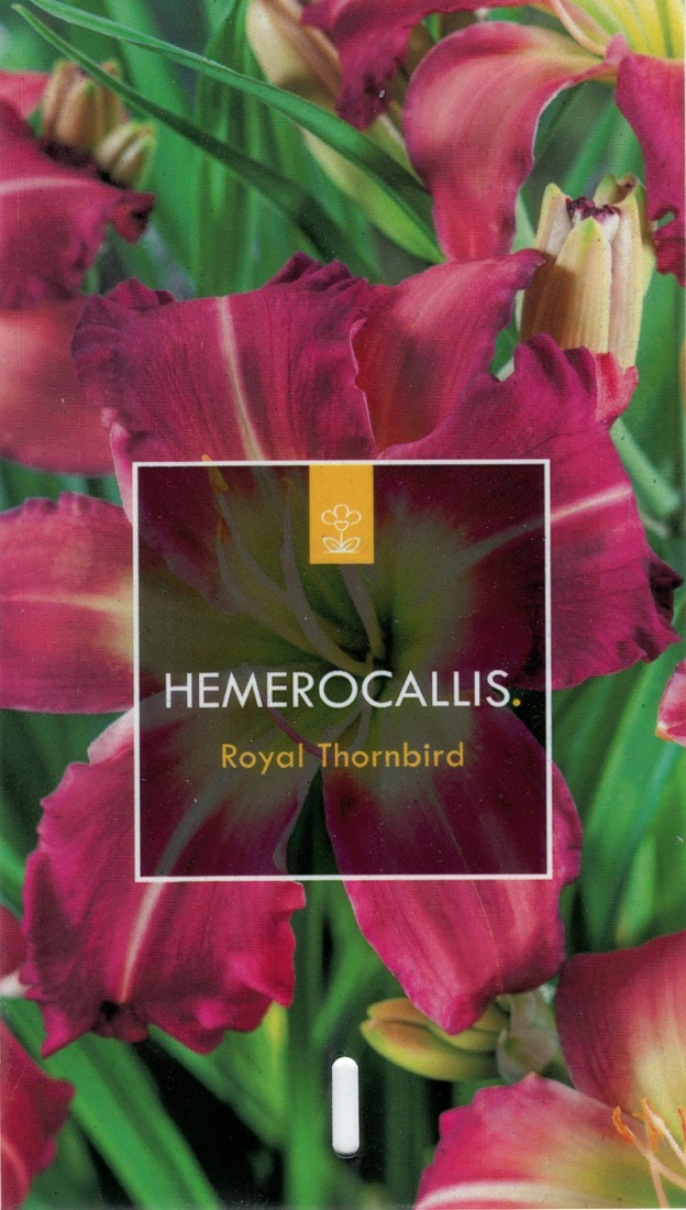Hemerocallis Hybr. 'Royal Thornbird' C5
